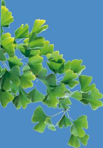 Standardiserede Ginkgo-ekstrakter giver øget sikkerhed for at produktet virker efter hensigten