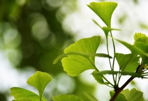 """Ginkgo blev beskrevet af den svenske botaniker Linné i 1771. Han gav træet efternavnet """"biloba"""" af latin bis: """"to"""" og loba: """"flige"""" på grund af plantens karakteristiske tofligede blade. Det er kun træets blade der anvendes i uforfalskede Ginkgopræparater."""