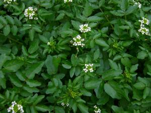 Blomstrende-broendkarse-300x225