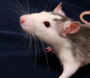 Pet-Rat